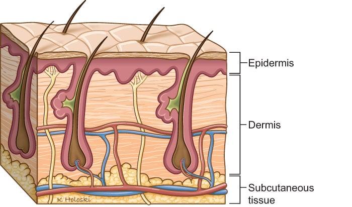 Skincare Skin Layers Diagram