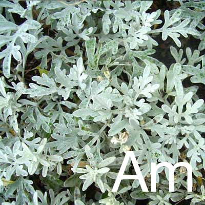 Artemisia (Artemisia Vulgaris Oil) Ingredient Image