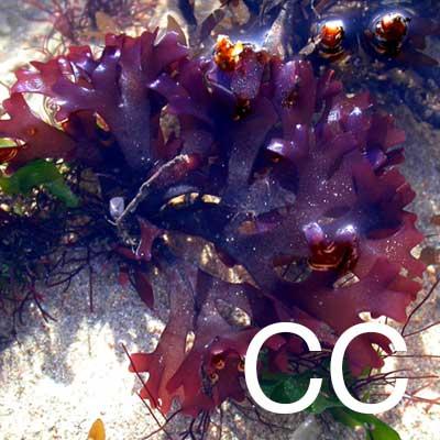 Carrageenan (Chondrus Crispus) Ingredient Image