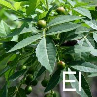Elemi (Canarium Commune Gum Oil) Ingredient Image