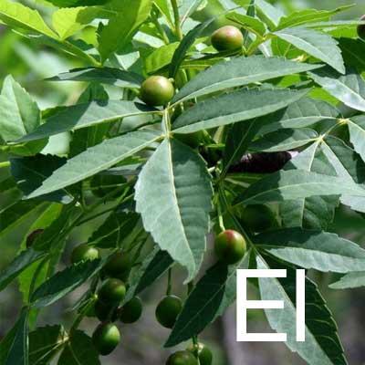 Elemi (Canarium Commune Gum Oil) Ingredient Image