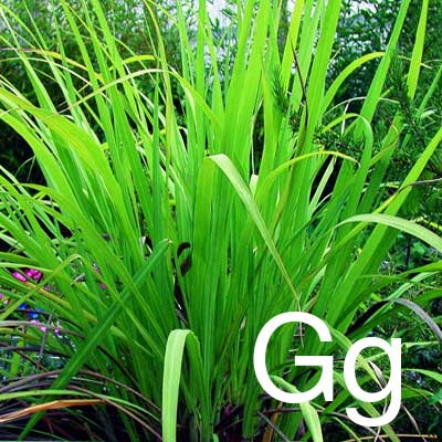 Gingergrass (Cymbopogon Martini Sofia Herb Extract) Ingredient Image