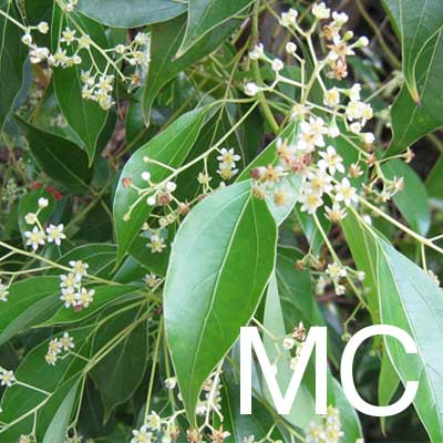 May Chang (Litsea Cubeba Fruit Extract) Ingredient Image