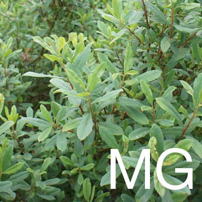 Myrica Gale (Myrica Gale Extract) Ingredient Image