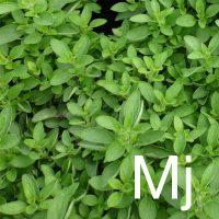 Marjoram (Origanum Marjorana) Ingredient Image