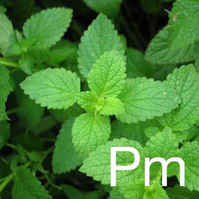 Peppermint (Mentha Piperita Extract) Ingredient Image