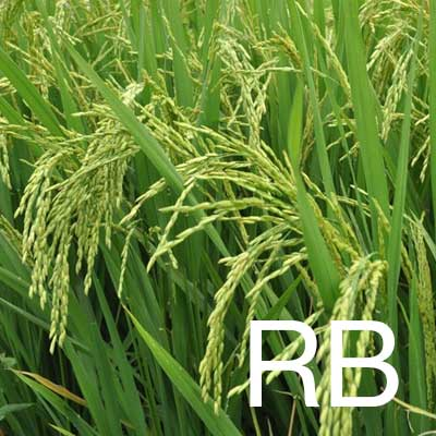 Rice Bran Oil (Oryza Sativa Oil) Ingredient Image