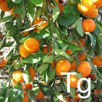 Tangerine (Citrus Reticulata Peel Oil) Ingredient Image
