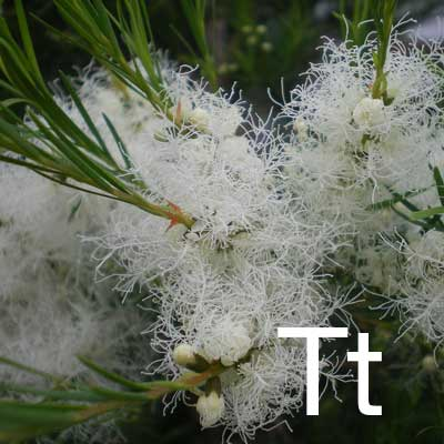 Tea Tree (Melaleuca Alternifolia Leaf Oil) Ingredient Image